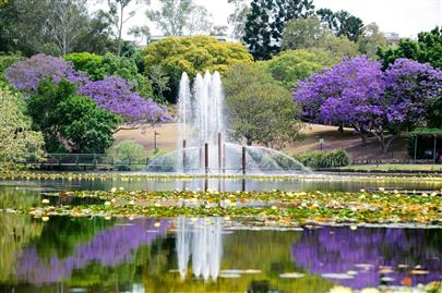 Jacaranda trees in flower at teh University of Queensland